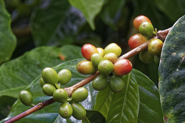Is coffee fruit or vegetable